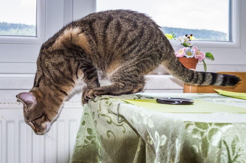 Gatto che va saltare giù da un piano d'appoggio fotografia stock libera da diritti