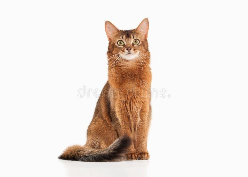 Gatto Colore rubicondo del gatto somalo su bakcground bianco fotografia stock libera da diritti
