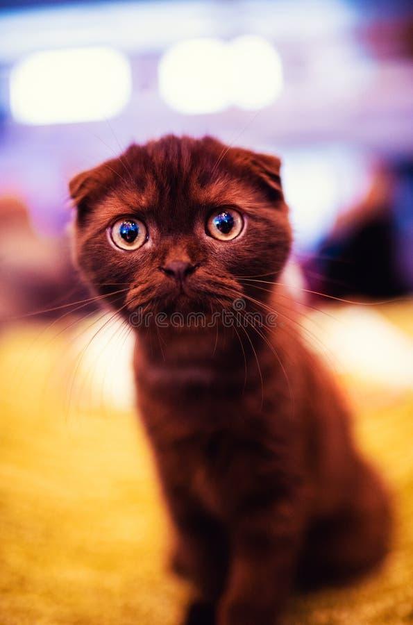 Gatto colpito sveglio Gatto del Brown Mondo animale fotografia stock libera da diritti