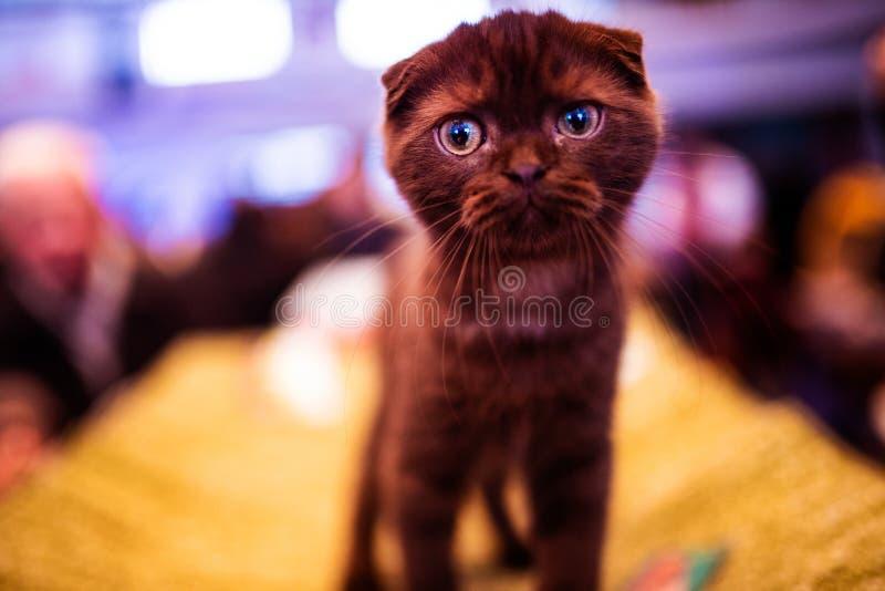 Gatto colpito sveglio Gatto del Brown Mondo animale immagini stock