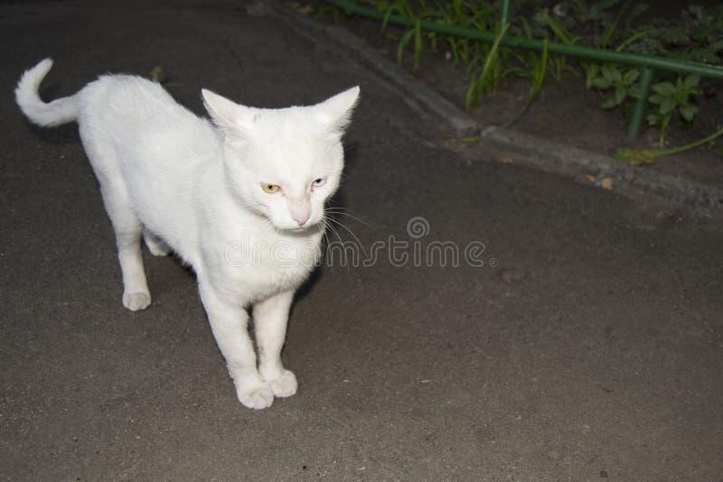 gatto con differenti occhi immagini stock