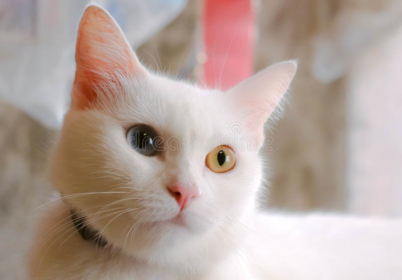 Gatto con due occhi di colore fotografie stock