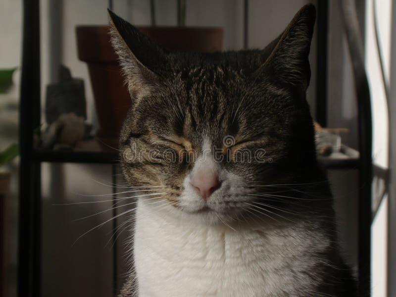 Gatto con gli occhi chiusi fotografie stock libere da diritti