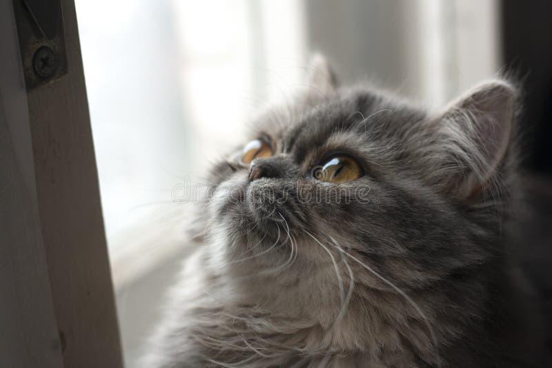 Gatto con gli occhi gialli, gatto lanuginoso e persiano, sveglio, gattino, gattino, gatto purulento, bello, brillante fotografie stock