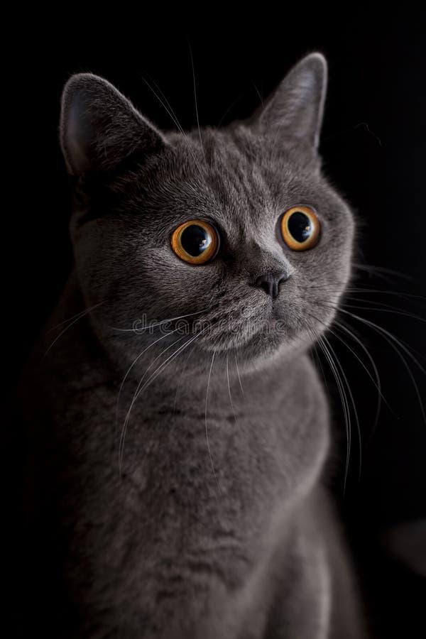 Gatto con gli occhi gialli scuri fotografia stock