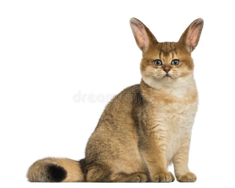 Gatto con la seduta delle orecchie di coniglio immagine stock libera da diritti