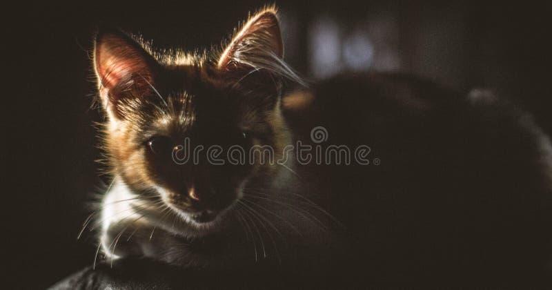 Gatto con lo sguardo intenso alla luce solare fotografie stock
