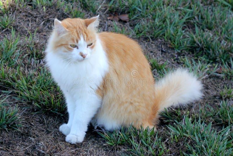 Gatto con marrone chiaro e abete bianco del Colorado fotografie stock