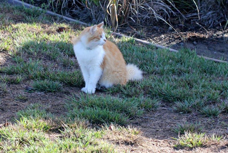 Gatto con marrone chiaro e abete bianco del Colorado fotografie stock libere da diritti