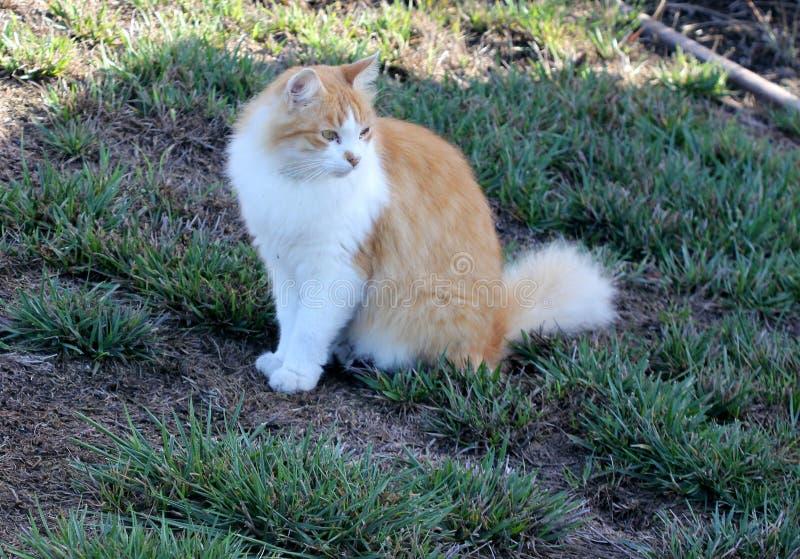 Gatto con marrone chiaro e abete bianco del Colorado immagine stock