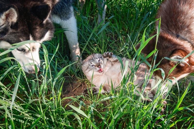 Gatto contro i cani Concetto di ostilità, poco amichevole I cani del husky hanno attaccato il gatto sveglio fotografia stock libera da diritti