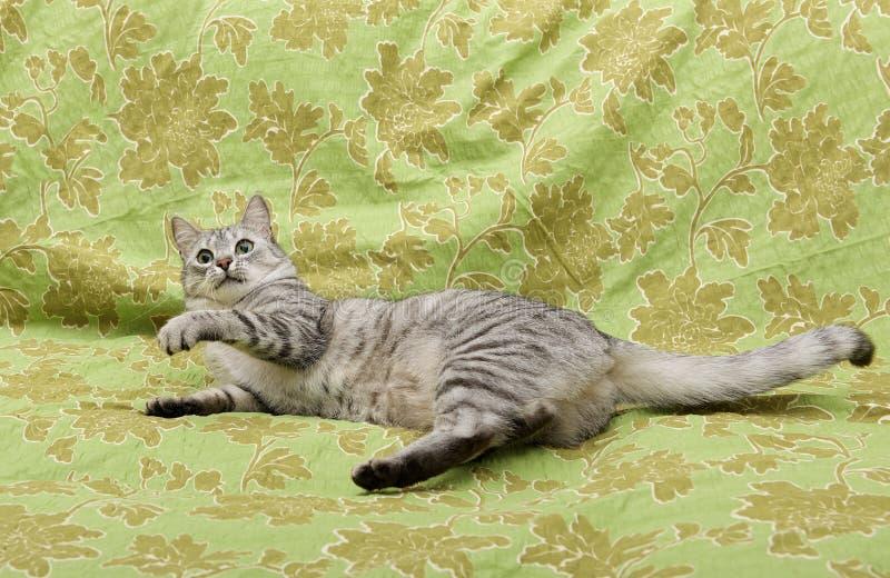 Gatto curioso divertente su un sofà, giocante gatto, gattino degli occhi verdi, foto umoristica di giovane gatto fotografia stock