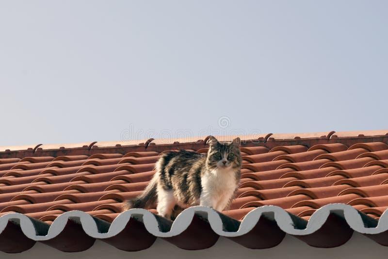 Gatto curioso sul tetto in maia, sao Miguel, Azzorre immagini stock