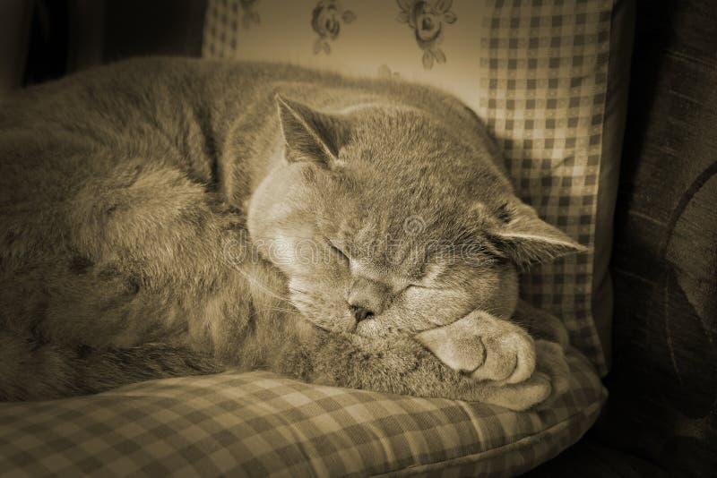 Gatto d'annata di sonno di seppia immagine stock