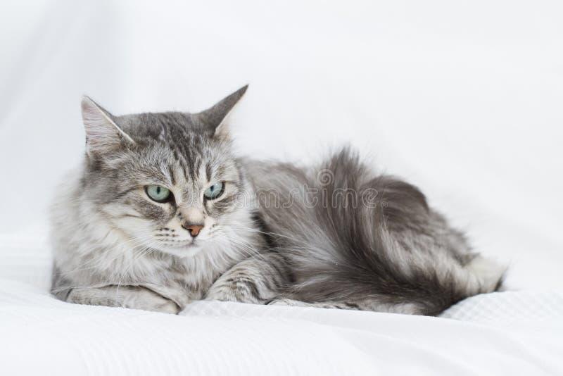 gatto d'argento splendido della razza siberiana fotografia stock