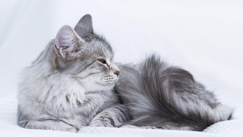 gatto d'argento splendido della razza siberiana immagini stock libere da diritti