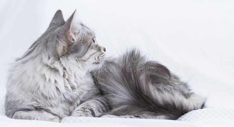 gatto d'argento splendido della razza siberiana fotografia stock libera da diritti