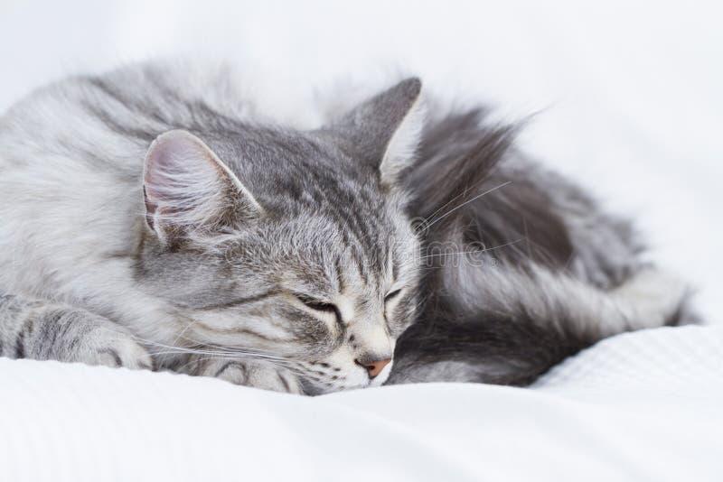 gatto d'argento splendido della razza siberiana immagine stock libera da diritti