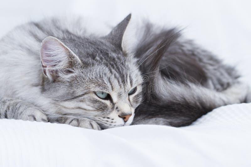 gatto d'argento splendido della razza siberiana fotografie stock libere da diritti