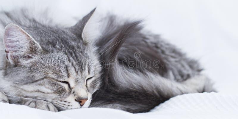 gatto d'argento splendido della razza siberiana immagine stock