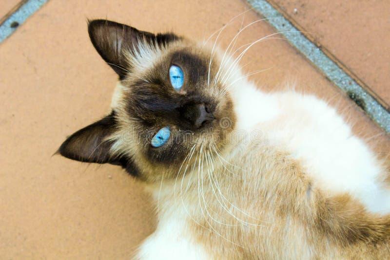 Gatto degli occhi azzurri immagine stock