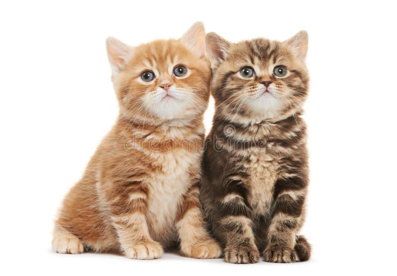 Gatto del gattino di due Britannici Shorthair isolato fotografia stock libera da diritti