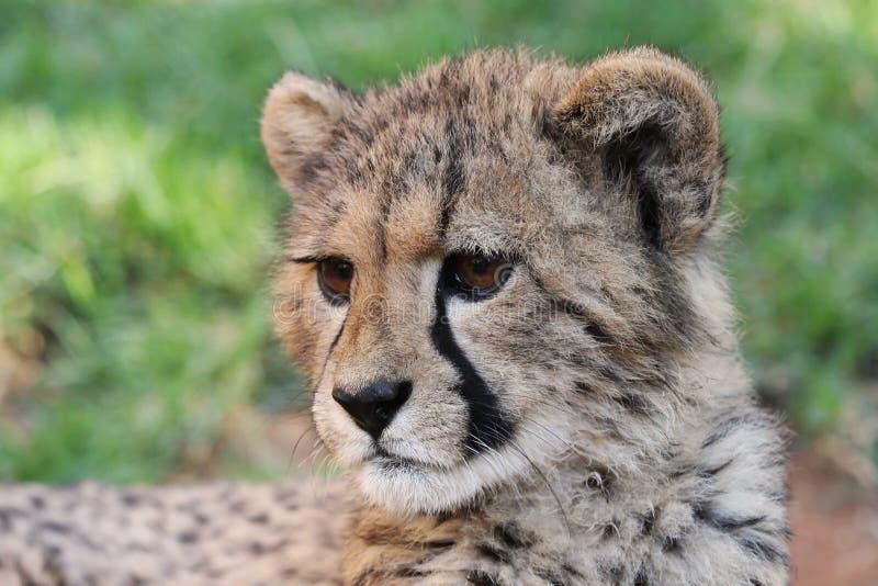 Gatto del ghepardo del bambino fotografia stock libera da diritti