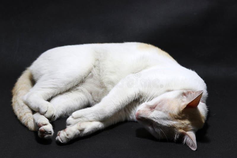 Gatto del ricciolo di sonno nel colore bianco ed arancio sul pavimento nero immagini stock libere da diritti