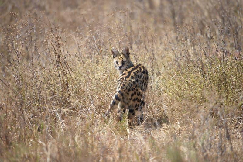 Gatto del Serval immagine stock libera da diritti
