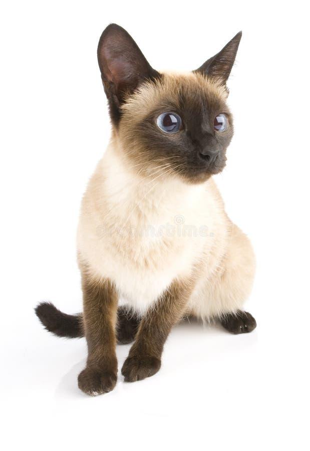 Gatto del Siam su bianco fotografia stock libera da diritti