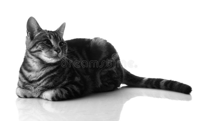 Gatto dell'animale domestico fotografia stock