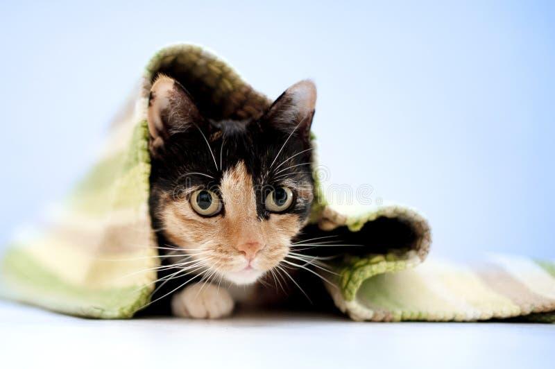 Gatto della carapace che si riposa esaminando la macchina fotografica fotografie stock