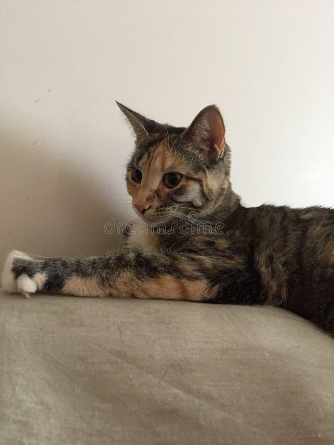 Gatto della carapace di Junior Tabby   Occhi dell'ambra fotografia stock