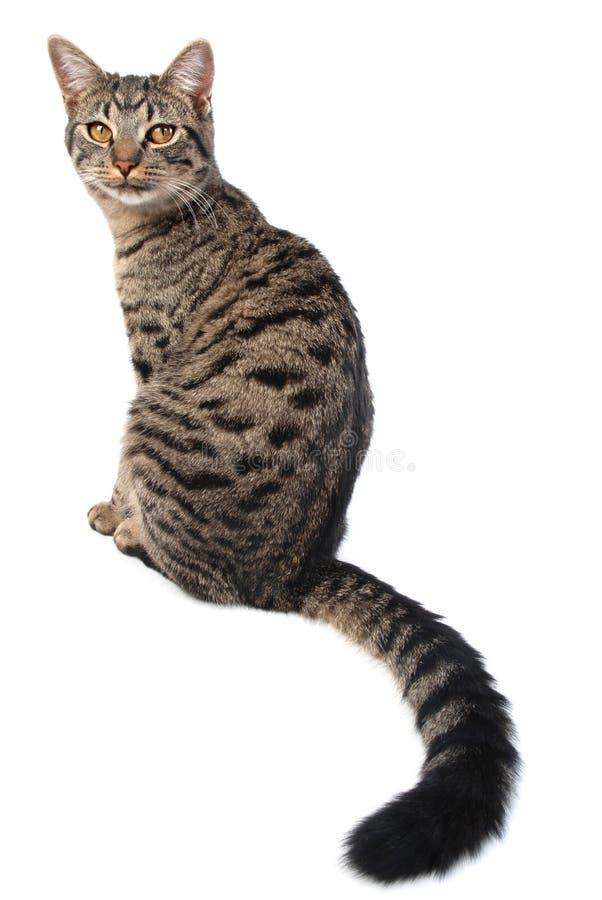 Gatto della coda lunga fotografia stock
