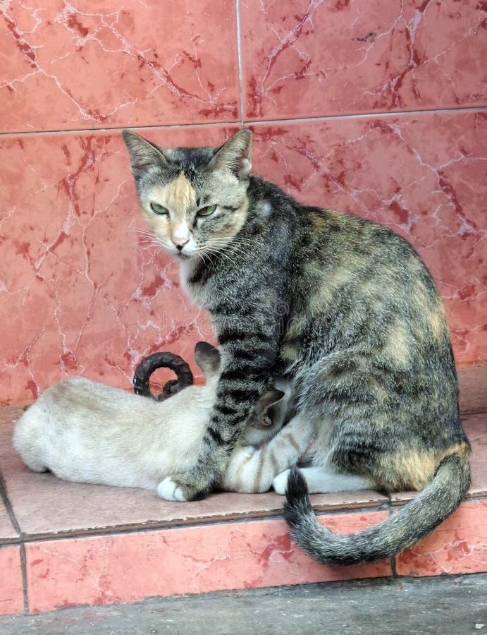 Gatto della madre che alimenta il suo bambino fotografia stock