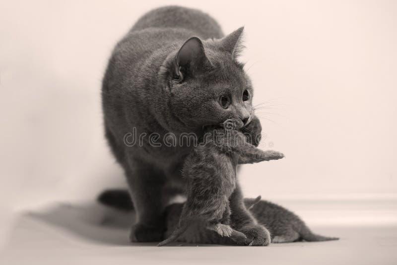 Gatto della madre che porta il suo bambino immagine stock libera da diritti