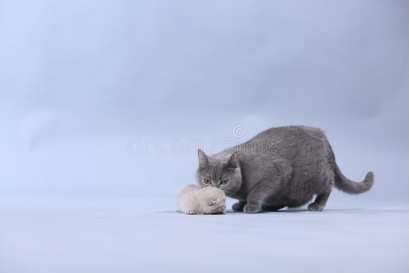 Gatto della madre che porta il suo bambino immagine stock