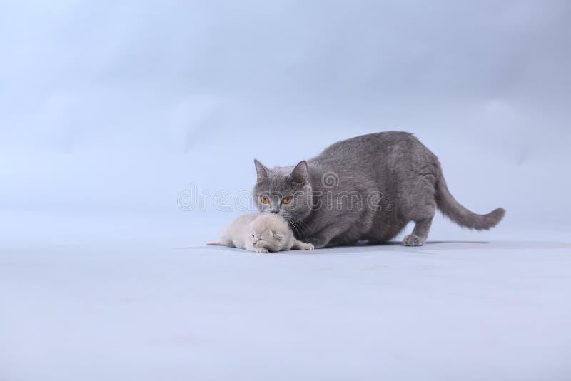 Gatto della madre che porta il suo bambino immagini stock libere da diritti