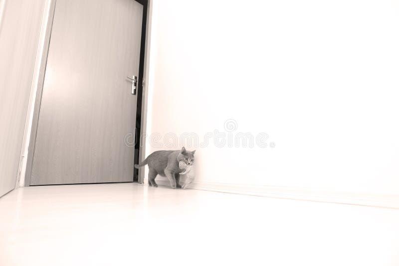 Gatto della madre che porta il suo bambino fotografie stock