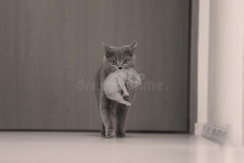 Gatto della madre che porta il suo bambino immagini stock