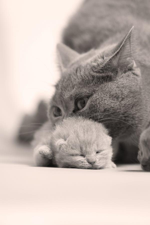 Gatto della madre che porta il suo bambino fotografia stock
