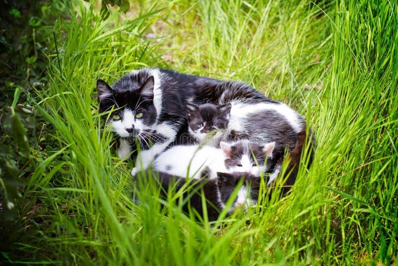 Gatto della madre con i giovani gattini immagine stock
