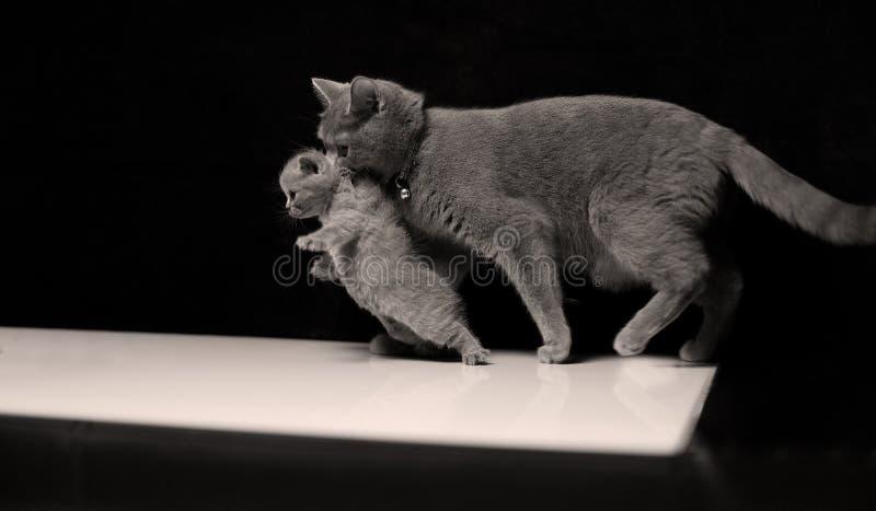 Gatto della madre con il suo bambino fotografie stock libere da diritti