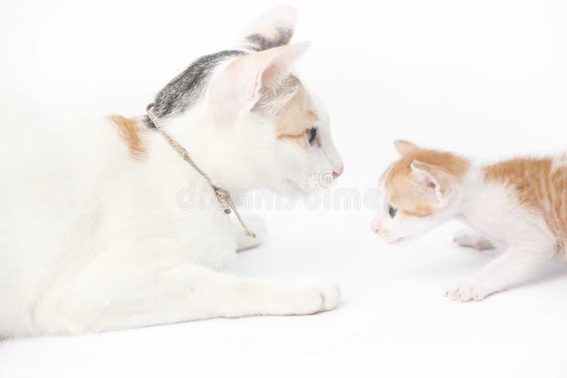 Gatto della madre con il suo gattino del bambino immagine stock libera da diritti