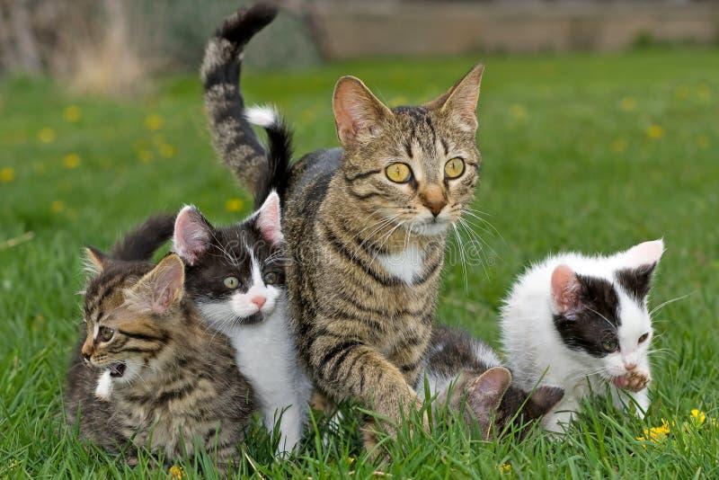 Gatto della madre ed i suoi gattini. immagine stock