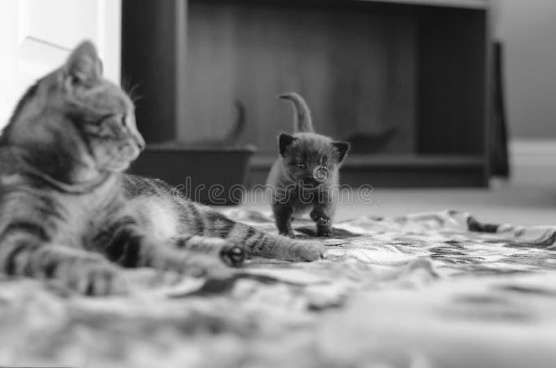 Gatto della madre ed il suo gattino che fanno la sua prima passeggiata fotografia stock