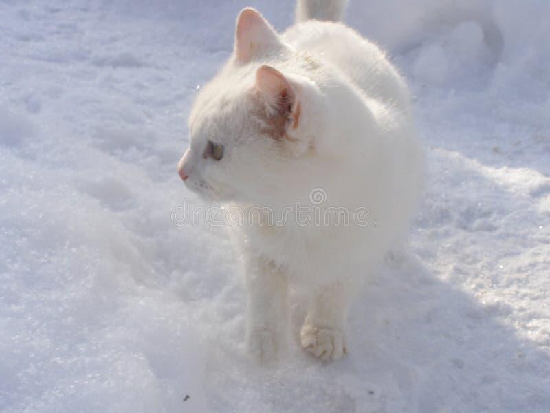 Gatto della neve sulla copertura bianca immagine stock