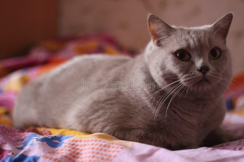 gatto della razza britannica fotografia stock libera da diritti