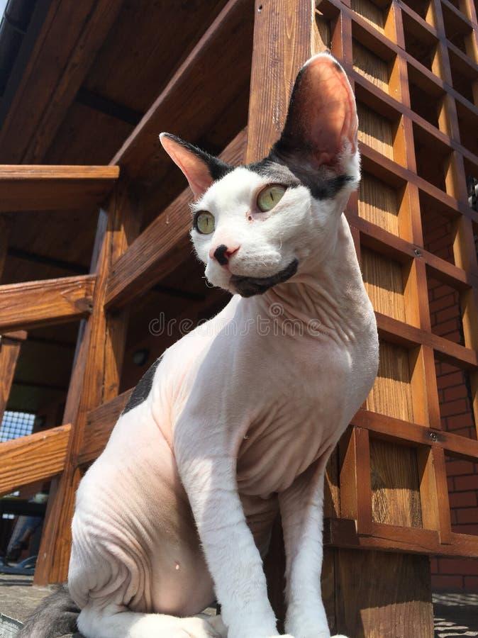 Gatto della Sfinge fotografia stock
