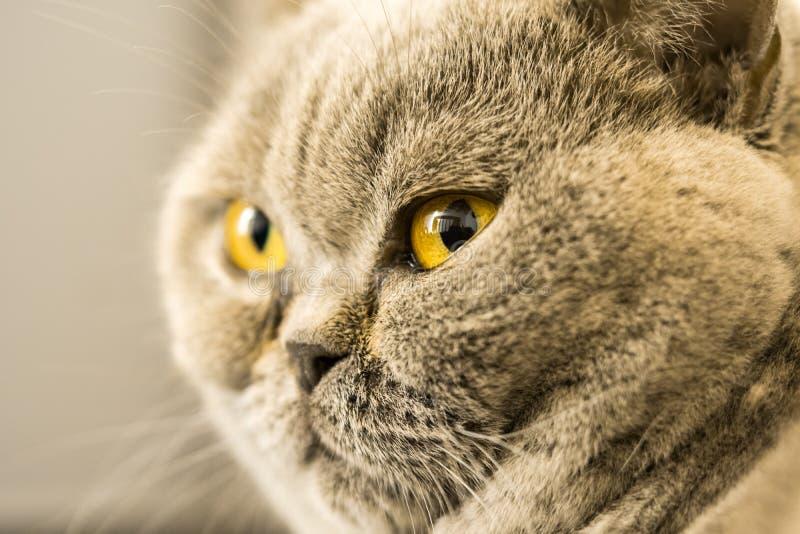 Gatto dello shorthair di Gray British con gli occhi gialli fotografia stock libera da diritti